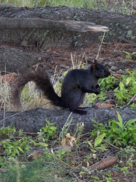 The black squirrels are just too cute