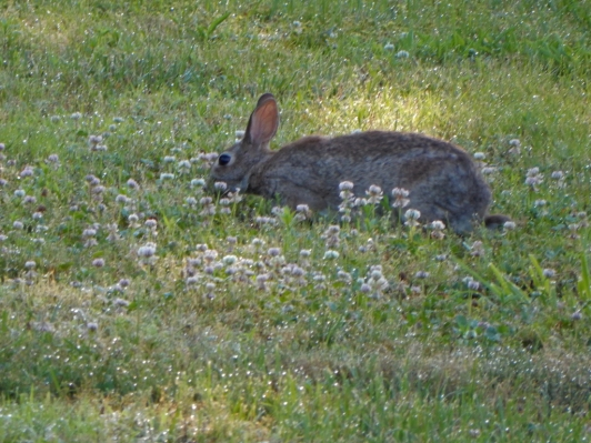 One of four bunnies we saw on our walk. We moved into the street so this guy could keep eating.