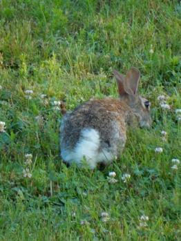 Bunny butt