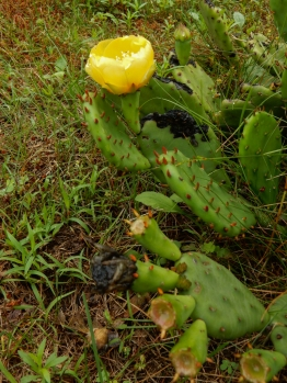 Maddie's friend has a cactus rose in her yard.