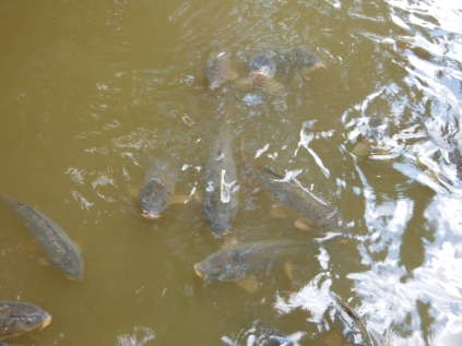 Carp at the boat dock. When I worked on the boats, I used to scrape rigatoni and au gratin potatoes overboard and these guys would snarf 'em up like candy.