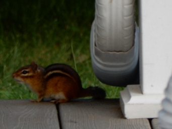 """This is """"baby Chippy"""" he's the littler of the two who live in the front yard."""