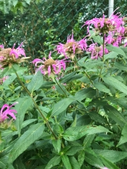From the last walk (around the yard) with Maddie before leaving - Bee Balm