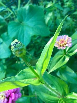 I think it's a zinnia bud.