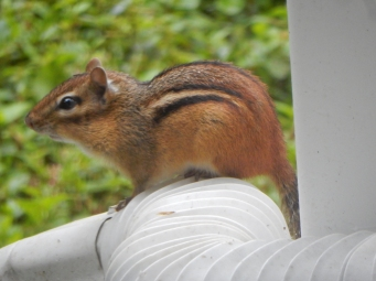 Even Chippy has moved to higher ground. On top of the gutter instead of under it.