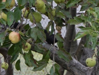 """""""I'm not up here because I like apples. You guys need to get going so I can go back to the nuts on the ground."""""""