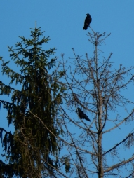 Someone said it's a good thing if you see two crows.