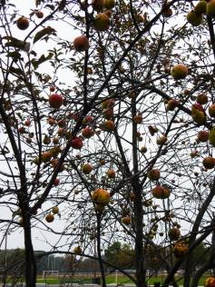 Sad apple tree