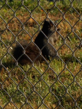 We see the black squirrels in Maddie's park. They don't come very close, but close enough to get a peanut.