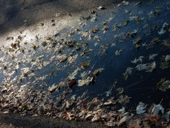 No reflections today. Too many leaves are frozen into the puddle.