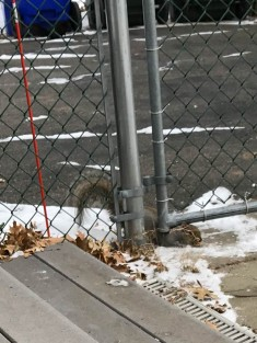 """The bare spot has been """"plowed"""" by Squirrel bellies - see the video."""