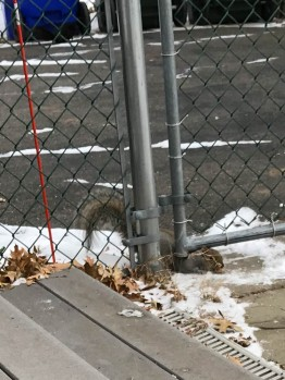 "The bare spot has been ""plowed"" by Squirrel bellies - see the video."