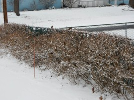 It snowed on Wednesday. The birds hung out in the Forsythia.
