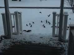 A bit of a feeding frenzy in the front yard.