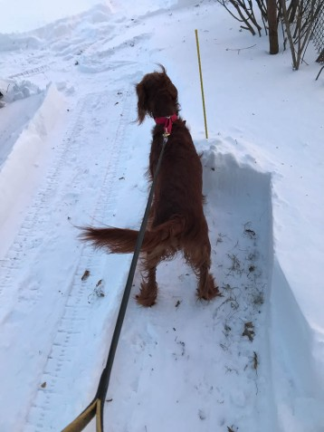 """Maddie is checking out the """"rest areas"""" I cleared off the side of her path."""