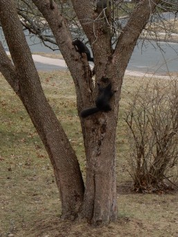 The two black squirrels are chasing each other through the tree.