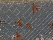 The storm left many leaves stuck in the fence at the ball field.