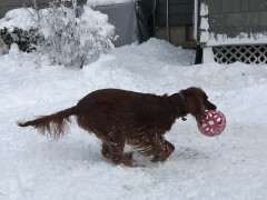 Maddie loves to run with her red ball.