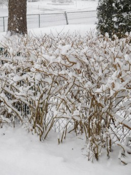 The Forsythia were not counting on this.