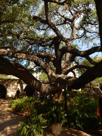 I love this gnarled tree in the compound.