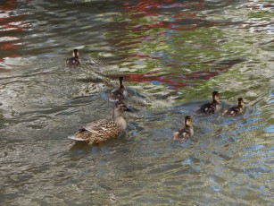 A family of newborns exploring the San Antonio River as I was exploring the River walk.