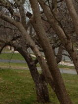 The squirrels blend in even with the bare tree, Once the leaves come out, you won't see them at all.