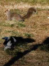 The blue jays are relentless in their effort to steal the peanuts before the squirrels can get them.