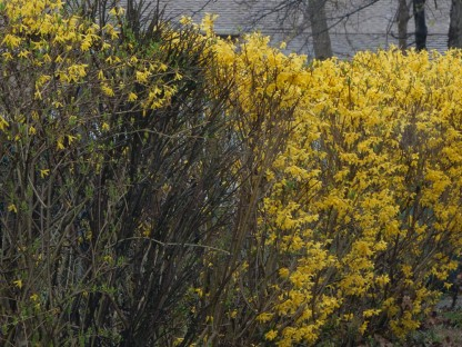 Our Forsythia is breaking out.