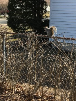 The squirrels like to sit on the fence to eat.