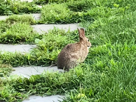 From last summer. We've seen bunnies this year, but only briefly.