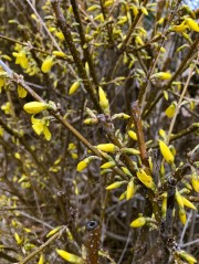 Forsythia is hoping to find warmer temperatures than we've been getting lately.