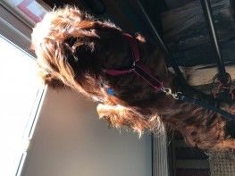 Somewhere in the mess of hair is an Irish Setter trying to get outside to her cot.