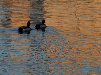 The ducks are swimming through the reflections from the buildings.