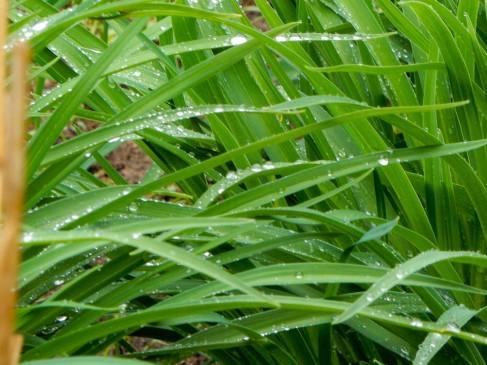 Ornamental grasses in the park.