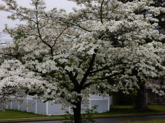 Dogwoods are in bloom all over the neighborhood.