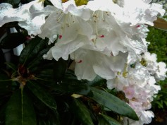 There are water drops on those blossoms, but it's hard to tell.