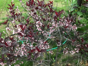 These Sand Cherries have not grown as promised when we planted them, but they're pretty at this time of year.