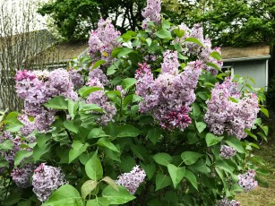 Our lilacs are beginning to fade, but they were a delight to see.