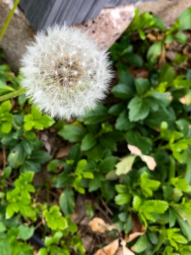 We are fans of dandelions.