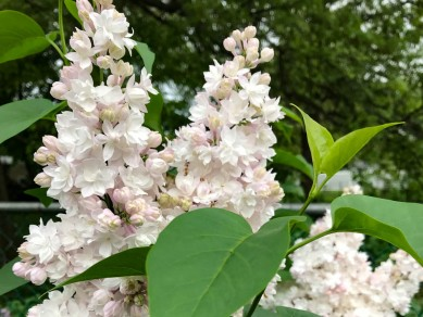 Beauty of Moscow Lilac - A favorite of the Editor.