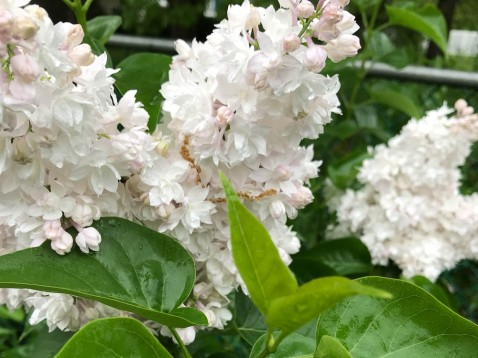 One more picture of the Beauty of Moscow lilacs before they fade completely.