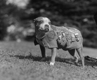 Original caption: Washington, DC: Meet up with Stubby, a 9-year-old veteran of the canine species. He has been through the World War as mascot for the 102nd Infantry, 26th Division. Stubby visited the White House to call on President Coolidge. November 1924