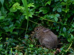 This is the smaller of the two bunnies. Just munching.