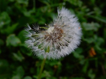 Dandelions have been a favorite close-up target of mine. Very few have turned out well.