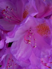 Trying to get some close-up shots of the rhododendrons.