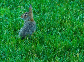 This baby bunny is in our pack yard. He's not much taller than the grass.