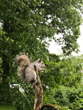 This guy likes to sit at the top of a dead lilac branch when he eats.