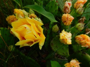 It was very hot, so Maddie and I walked at 6:00am. The cactus rose was still waking up.