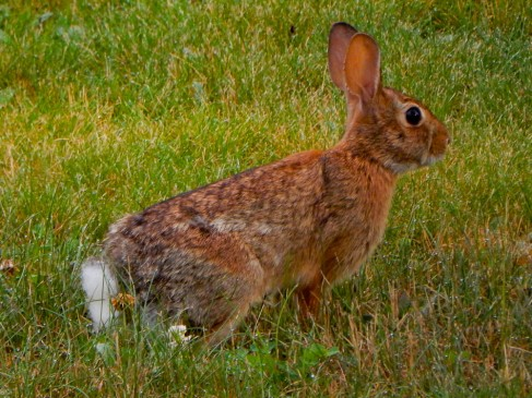 The bunnies in our yard are not nearly this big. We saw this guy while on our walk.