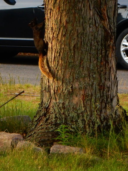 We just started seeing this guy this year. Black squirrel with a bushy brown tail.